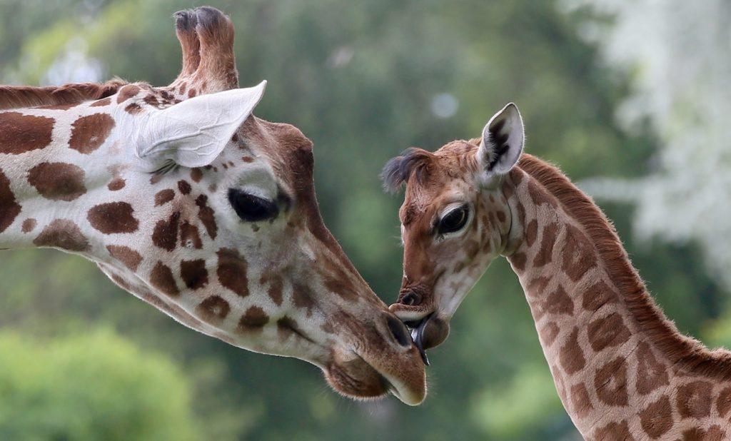 giraffe silent extinction 2